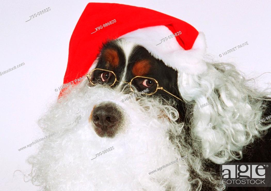 Stock Photo: Bernese Mountain Dog with Santa Claus beard and hat.