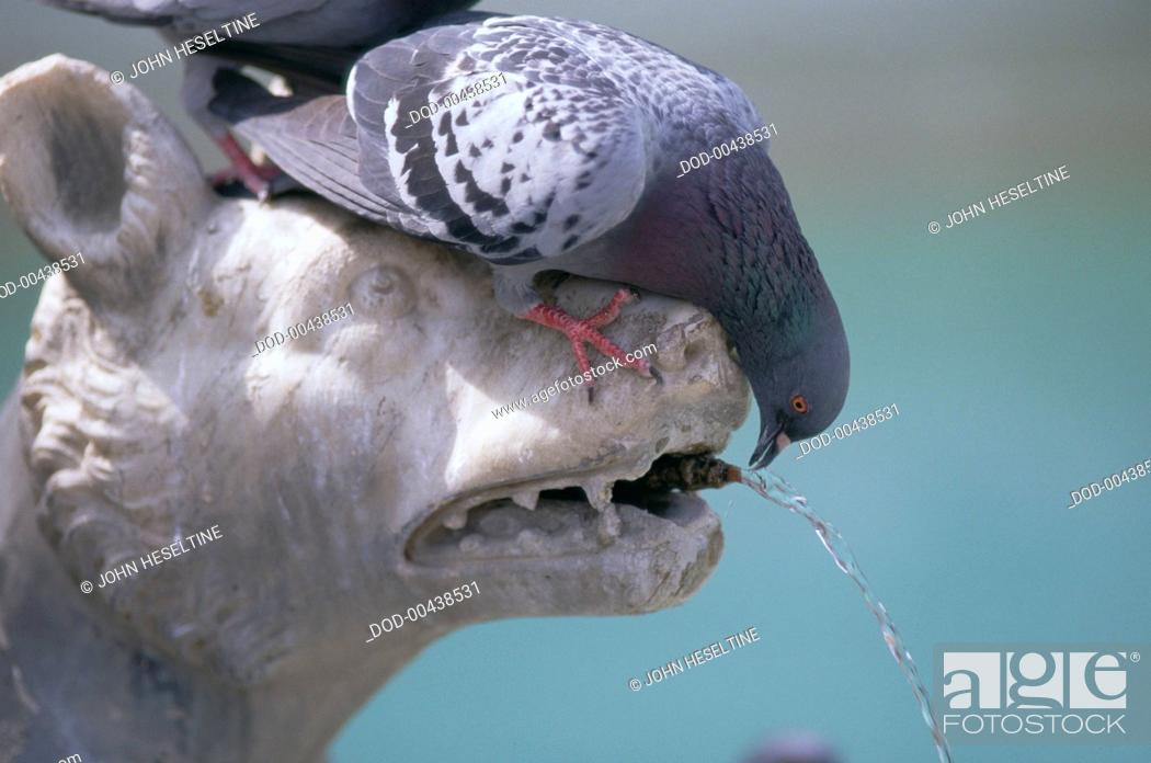 Imagen: UNUSED 59 - Italy, Central Tuscany, Siena, pigeon sat on head of fountain-sculpture in shape of wild beast, leaning over and drinking, side view.