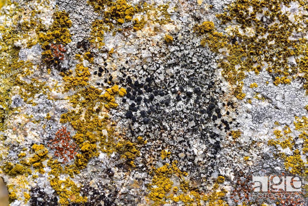 Stock Photo: Buellia punctata (black), Candelariella vitellina (yellow) and Caloplaca crenularia (red) are three crustoses lichens. This photo was taken in Arribes del Duero.