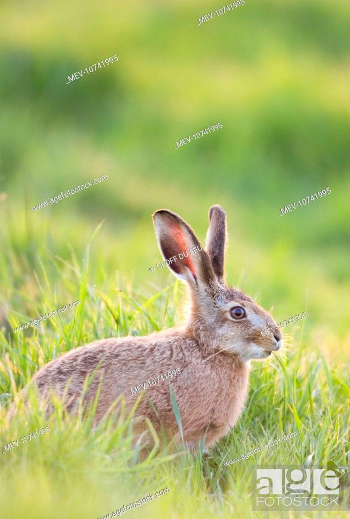 Stock Photo: European Brown HARE - feeding on grass (Lepus capensis europaeus).