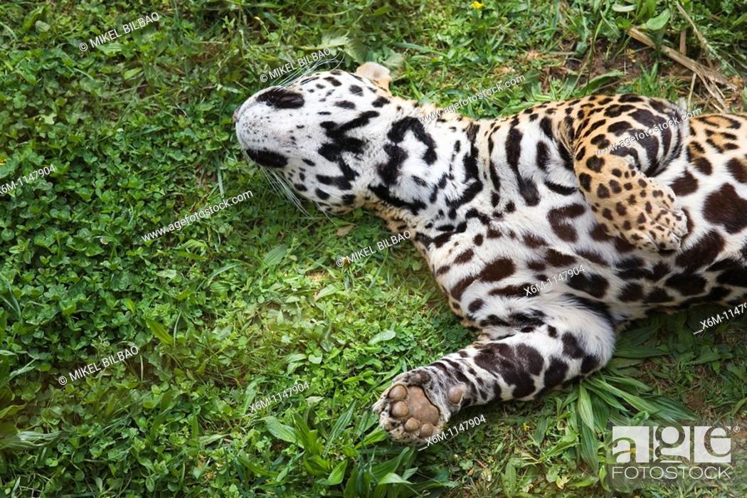 Stock Photo: jaguar Panthera onca  Park of the Nature of Cabarceno  Cabarceno, Cantabria, Spain.