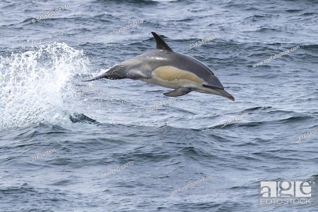 Stock Photo: Long-beaked Common Dolphin (Delphinus capensis), individual jumping out of water, Western Cape, South Africa.