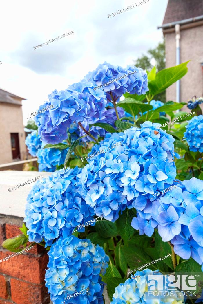 Stock Photo: Beautiful blue hortensia blooming outside a house.