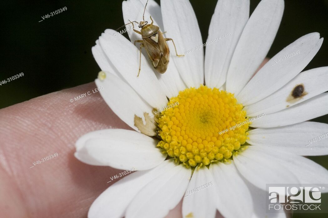 Stock Photo: PlPlant Bug, Lygus pratensis on daisy. Plant Bug, Lygus pratensis, tiny plant bug found in hedgerows and meadows. Size: 6. 1-7. 3mm.