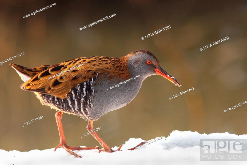 Stock Photo: Water rail looking for food.