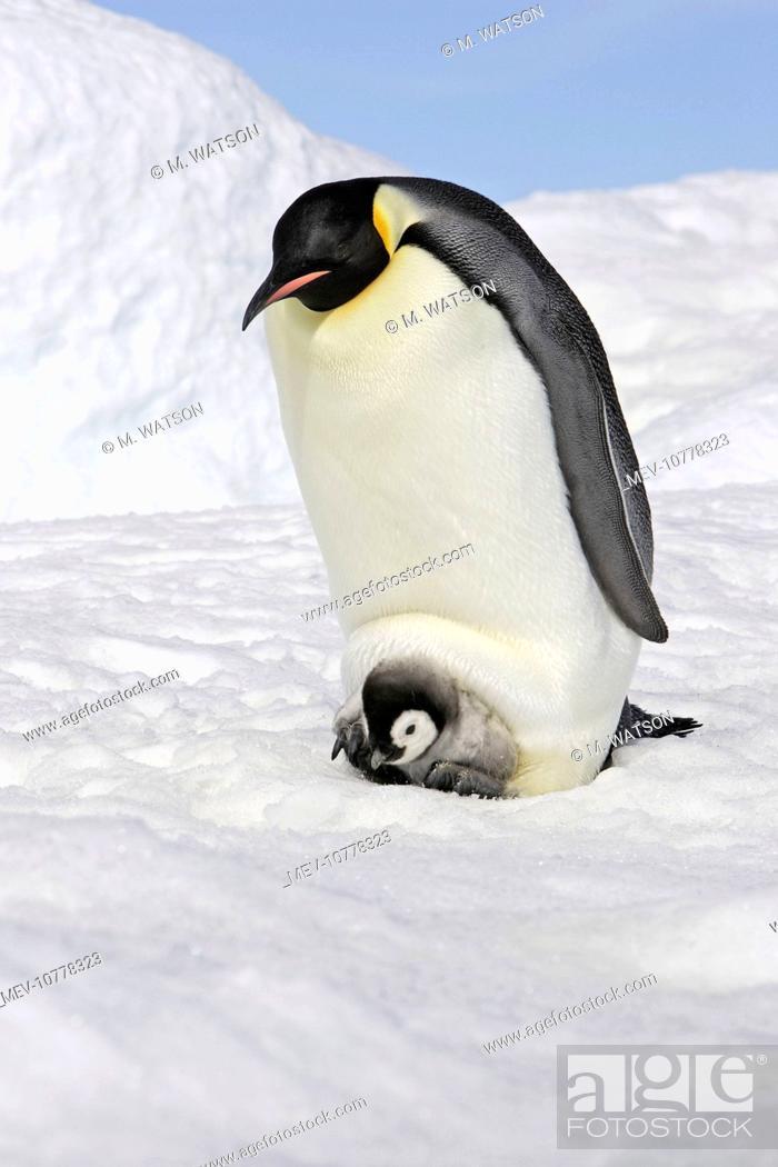 Stock Photo: Emperor Penguin - with chick (Aptenodytes forsteri).