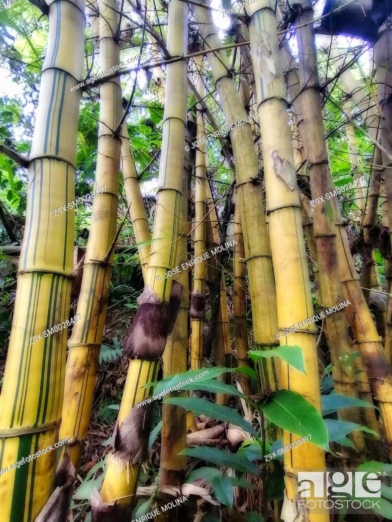 Stock Photo: Amazonian rain forest.Bambusa vulgaris, Peruvian jungle. Huanuco department, Perú, South America.