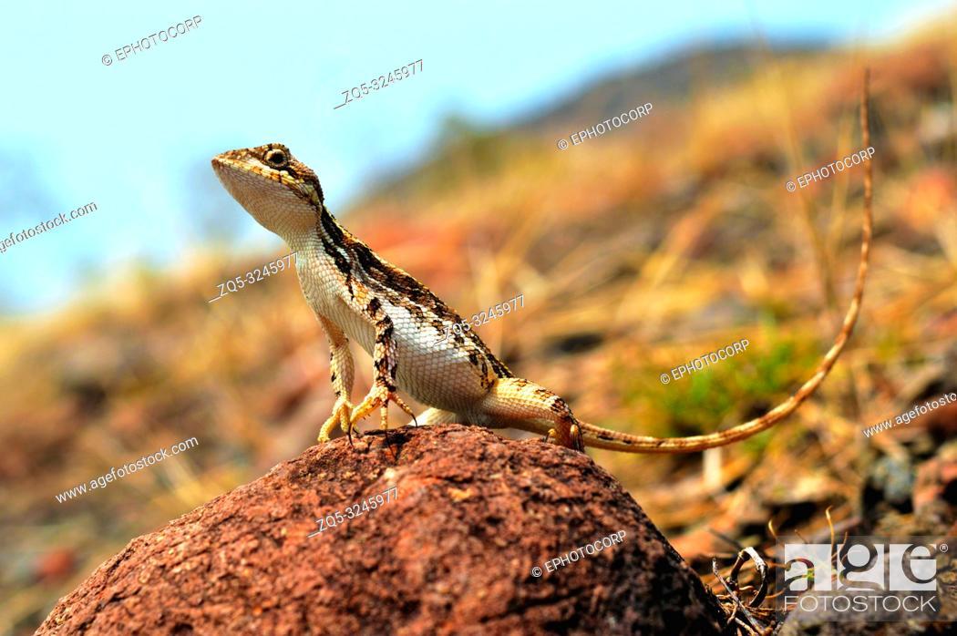 Stock Photo: Sitana sp closeup while enjoying the sunlight, Satara, Maharashtra, India.