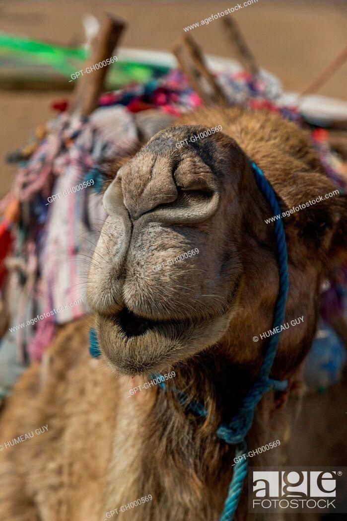 Stock Photo: KISSING CAMEL ON THE BEACH, ESSAOUIRA, MOGADOR, ATLANTIC OCEAN, MOROCCO, AFRICA.