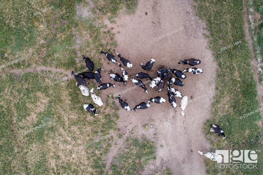 Stock Photo: Shot looking directly down of a group holstein diary cows in field, Tifton, Georgia. USA.