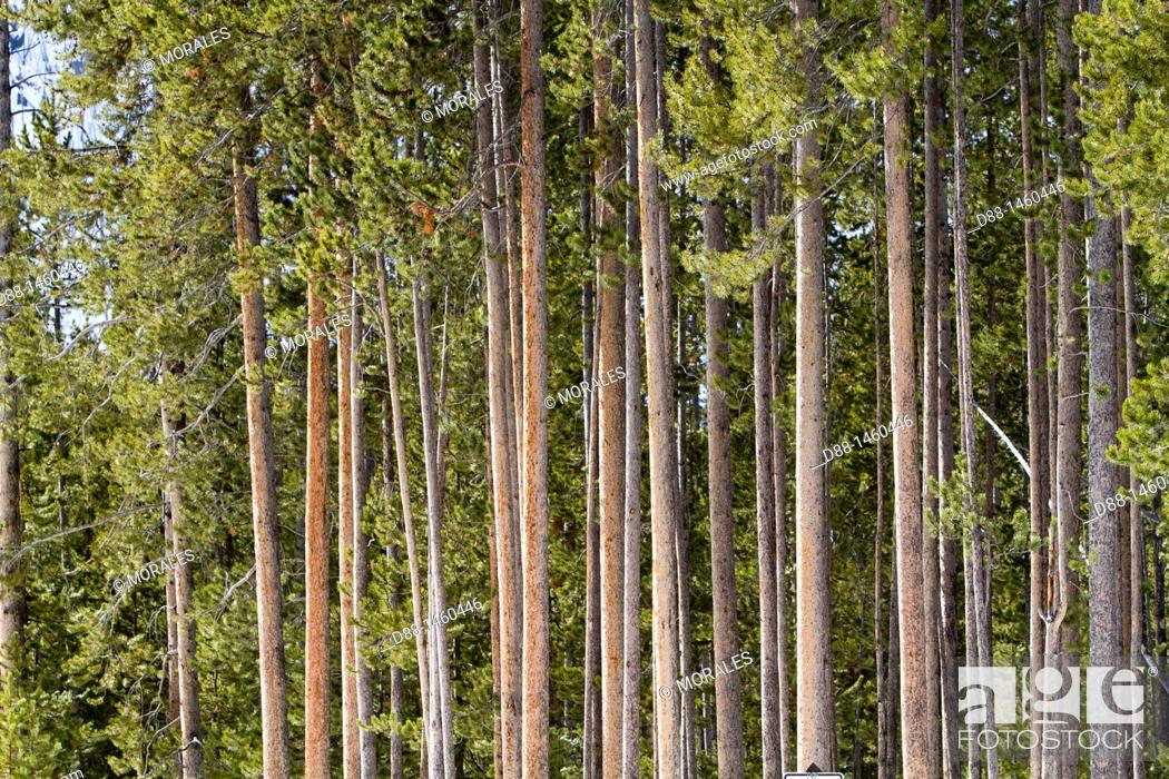 Stock Photo: United States, Wyoming-Montana, Yellowstone National Park, Spruce forest (Picea sp.).