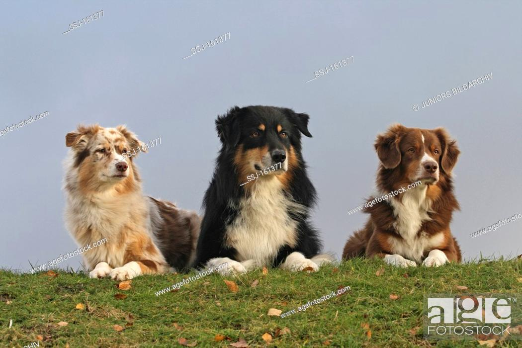 Stock Photo: Australian Shepherd dog female and male and Miniature Shepherd dog.