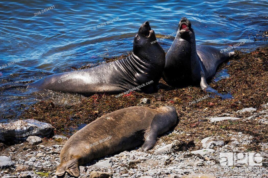 Stock Photo: Northern Elephant Seals (Mirounga angustirostris) at Piedras Blancas, San Simeon, California USA.