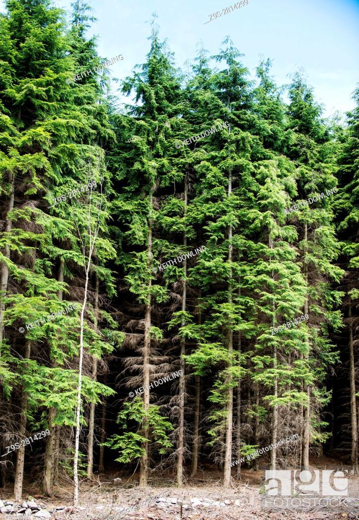 Stock Photo: Tall Treeline in Rossmore near Carlow in Southern Ireland.