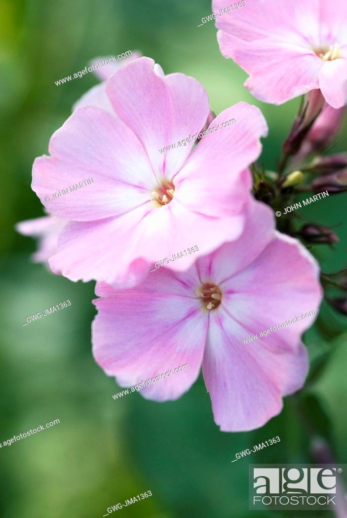 Phlox Paniculata Dresden China Stock Photo Picture And Rights