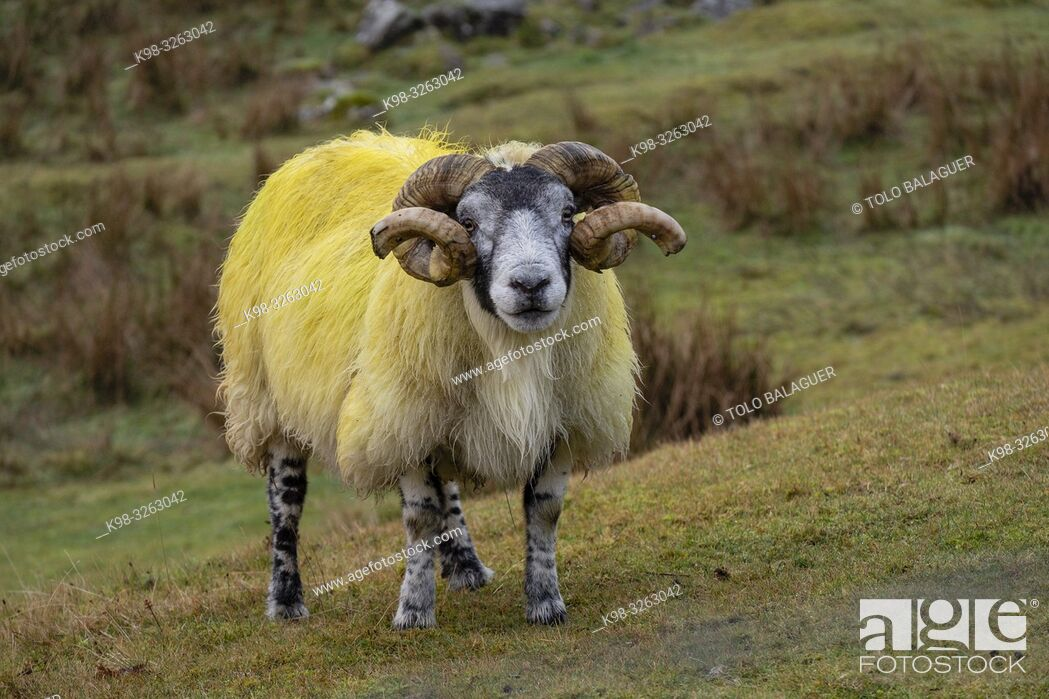 Stock Photo: Lamb, Quiraing valley, Highlands, Scotland, United Kingdom.