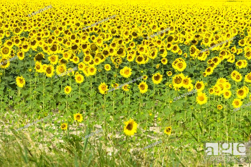 Stock Photo: Sunflower Field in France.