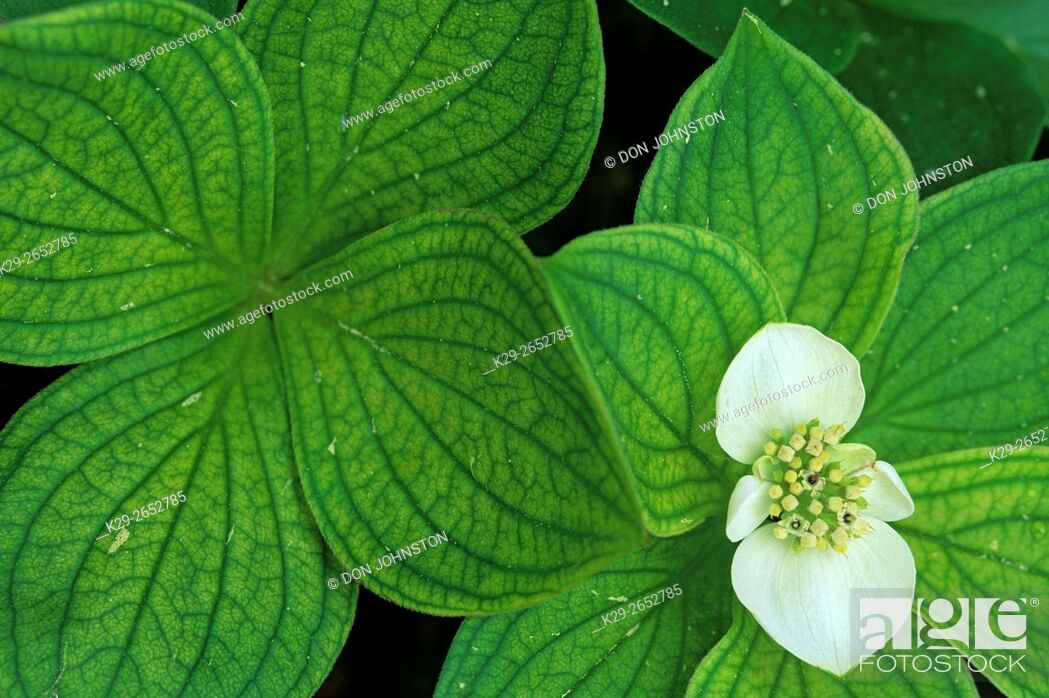 Stock Photo: Bunchberry (Cornus canadensis), Greater Sudbury, Ontario, Canada.