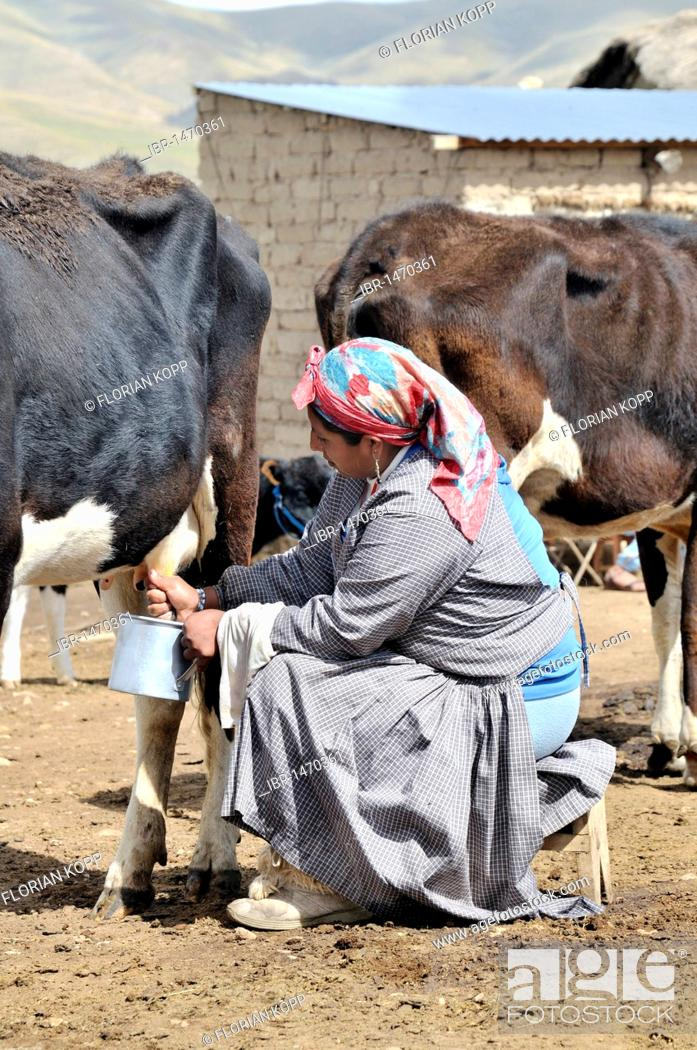 Stock Photo: Dairy cow farming, woman milking cow, Altiplano Bolivian highland, Oruro Department, Bolivia, South America.