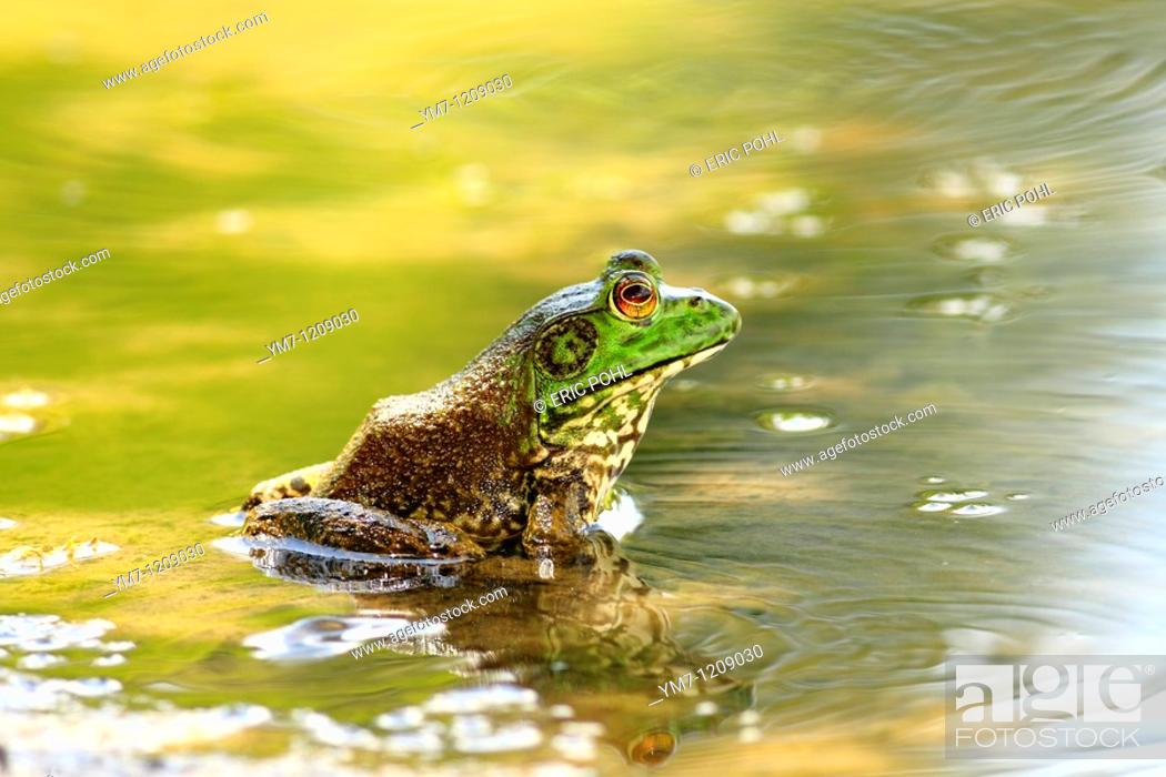 Stock Photo: American Bullfrog Rana catesbeiana - Lavaca County, Texas, USA  Mature male in summer.