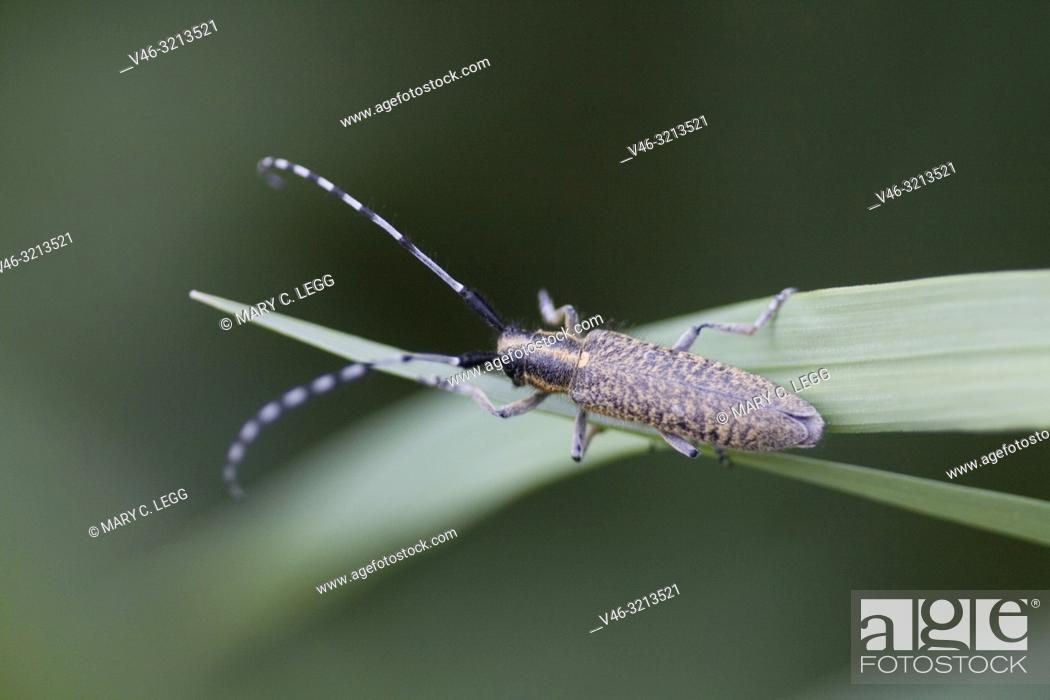 Stock Photo: Golden-bloomed Grey Longhorn, Agapanthia villosoviridescens, medium sized Longhorn beetle that is gold-black color with median stripe on head and pronotum.