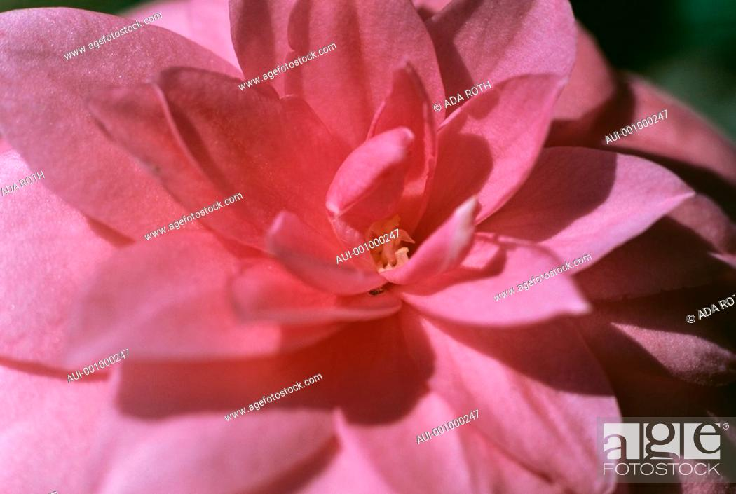 Stock Photo: Camellia - pink - sophisticated - refined - elegant.
