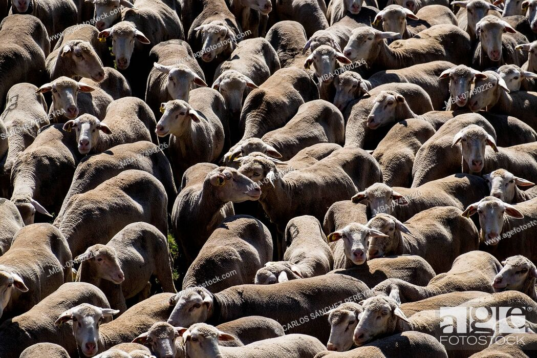 Stock Photo: Flock of sheep crossing a transhumance road through the fields of the province of Soria in Spain.