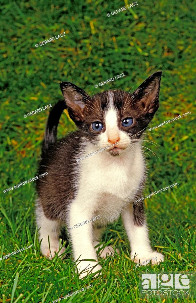 Imagen: Oriental Domestic Cat, Kitten standing on Grass.