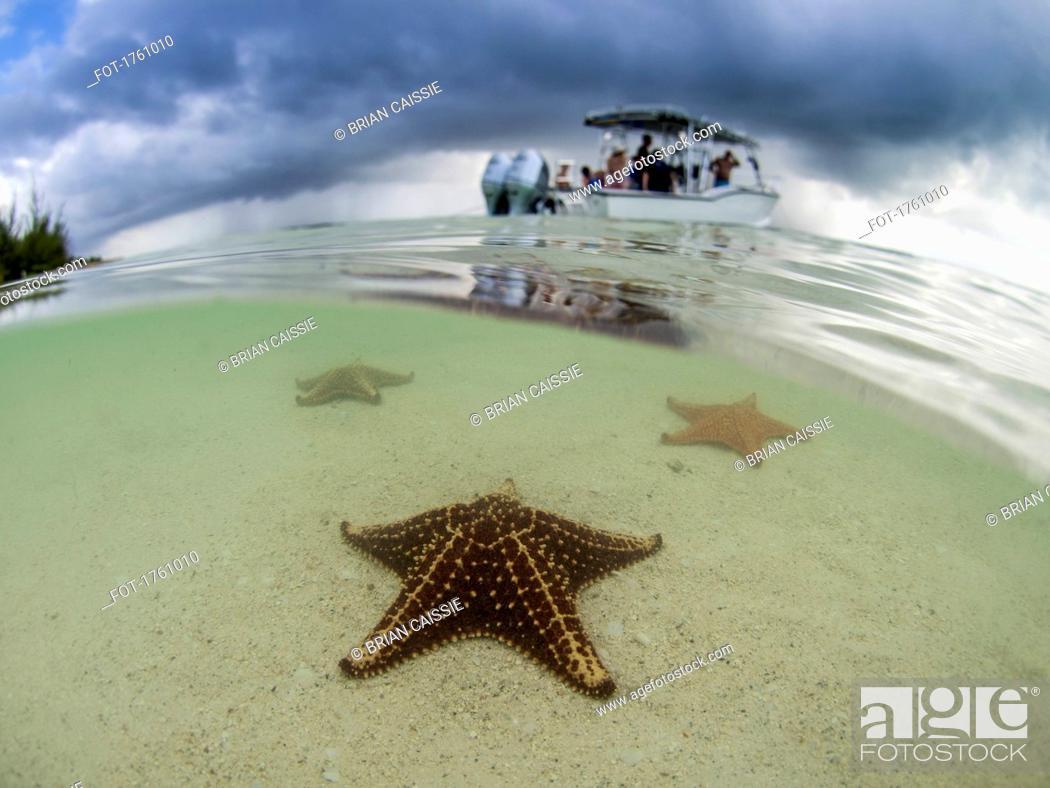 Stock Photo: Starfish in shallow water on Starfish Beach, Grand Cayman, Cayman Islands.