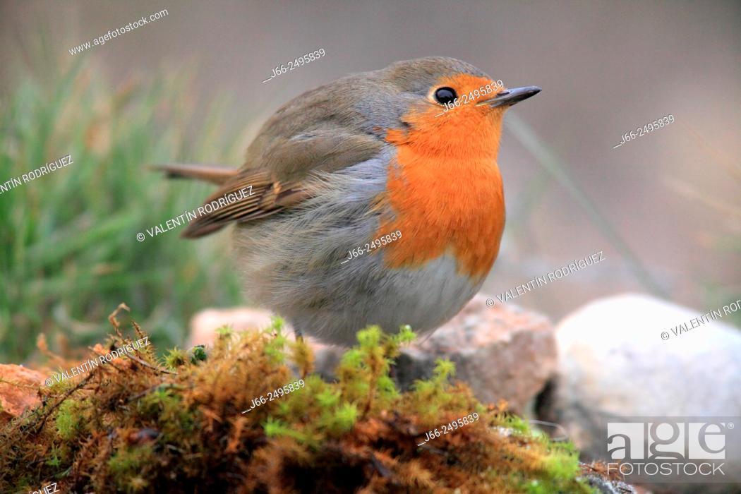 Stock Photo: Robin (Erithacus rubecula) in the Alto Palancia region. Castellón. Spain.