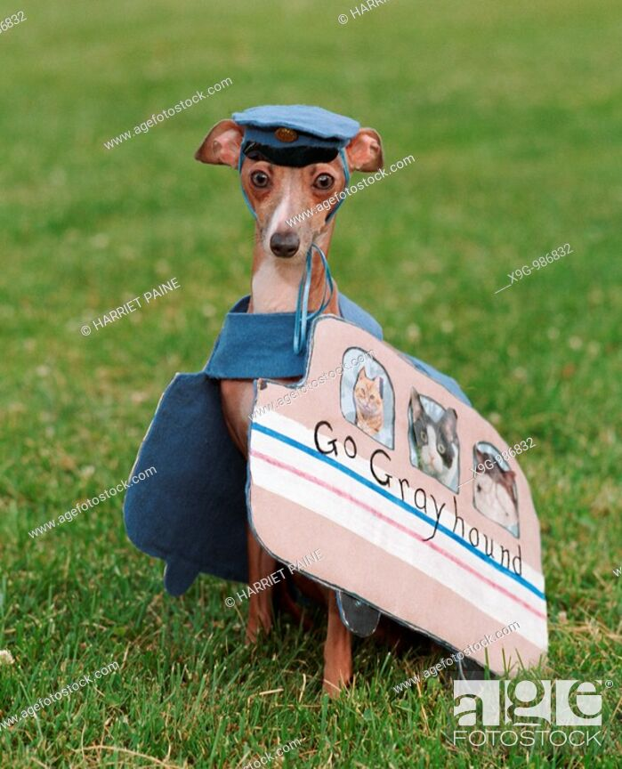 Stock Photo: Italian Greyhound in a greyhound bus costume.