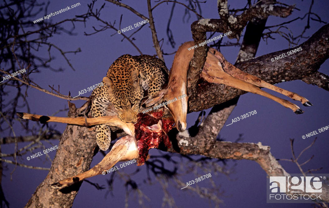Stock Photo: Leopard (Panthera pardus) with impala killed in tree. Sabi Sabi, Greater Kruger Park, South Africa.