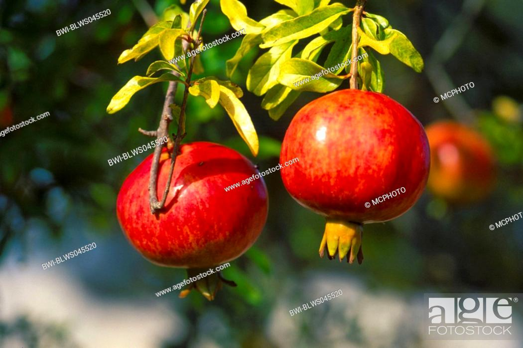 Pomegranate Anar Punica Granatum Fruits In Ancint Times Symbol