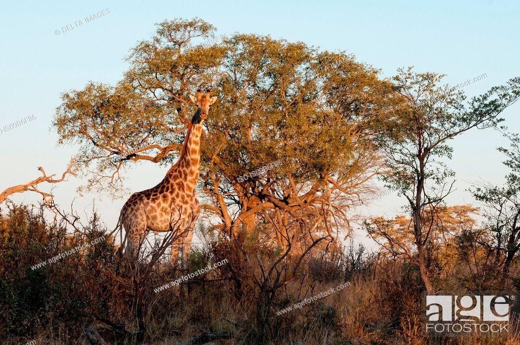 Stock Photo: Giraffes (Giraffe camelopardalis), Okavango Delta, Botswana.