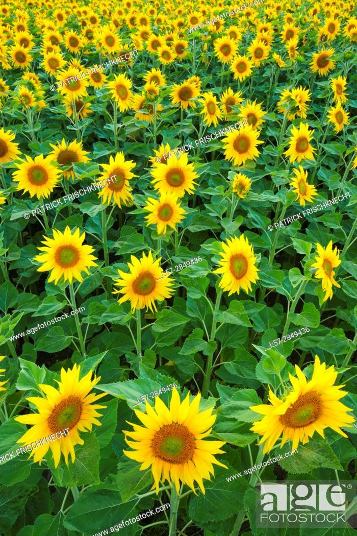Stock Photo: field of sunflowers, Switzerlannd.