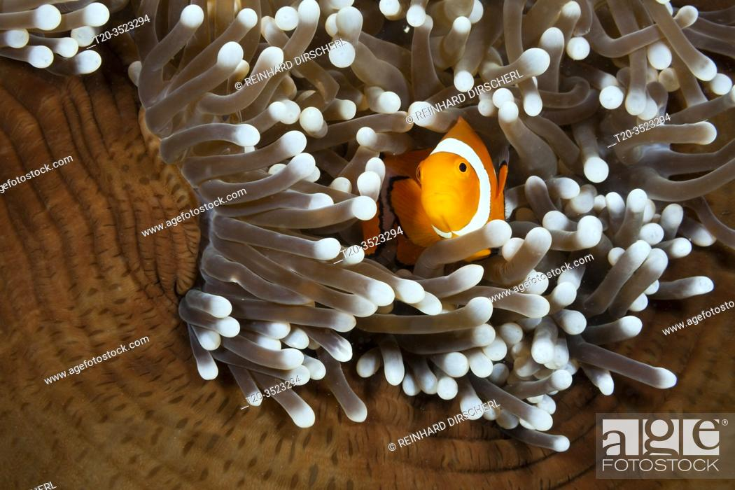 Stock Photo: Clown Anemonefish, Amphiprion ocellaris, New Ireland, Papua New Guinea.