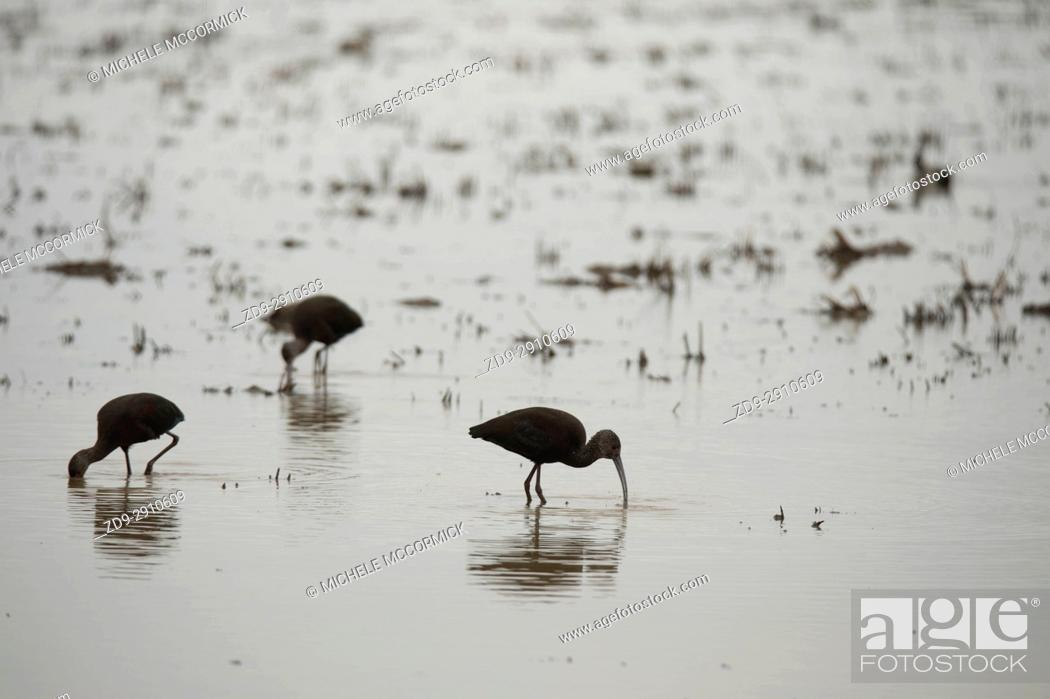 Stock Photo: White-faced ibis feed at dawn in flooded field.