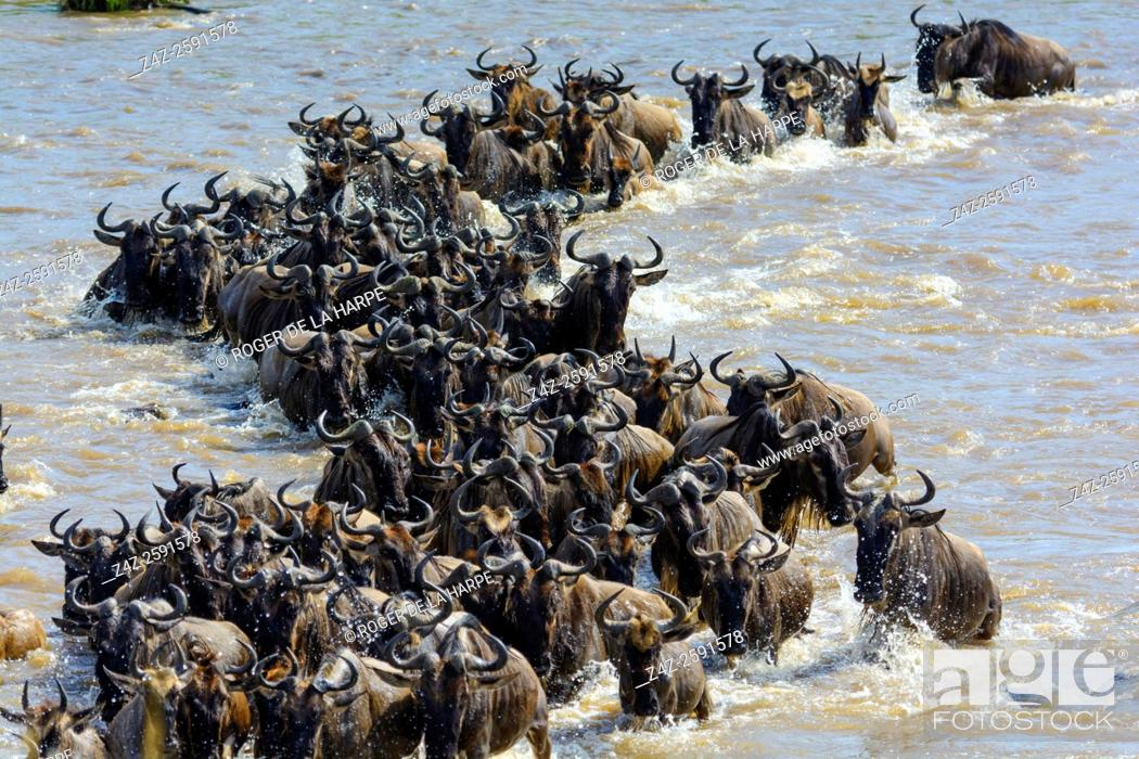 Stock Photo: Blue wildebeest or common wildebeest, white-bearded wildebeest or brindled gnu (Connochaetes taurinus) crossing the Mara River.