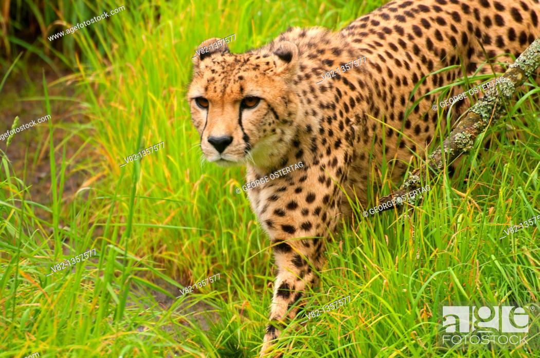 Stock Photo: Cheetah, Oregon Zoo, Washington Park, Portland, OR.