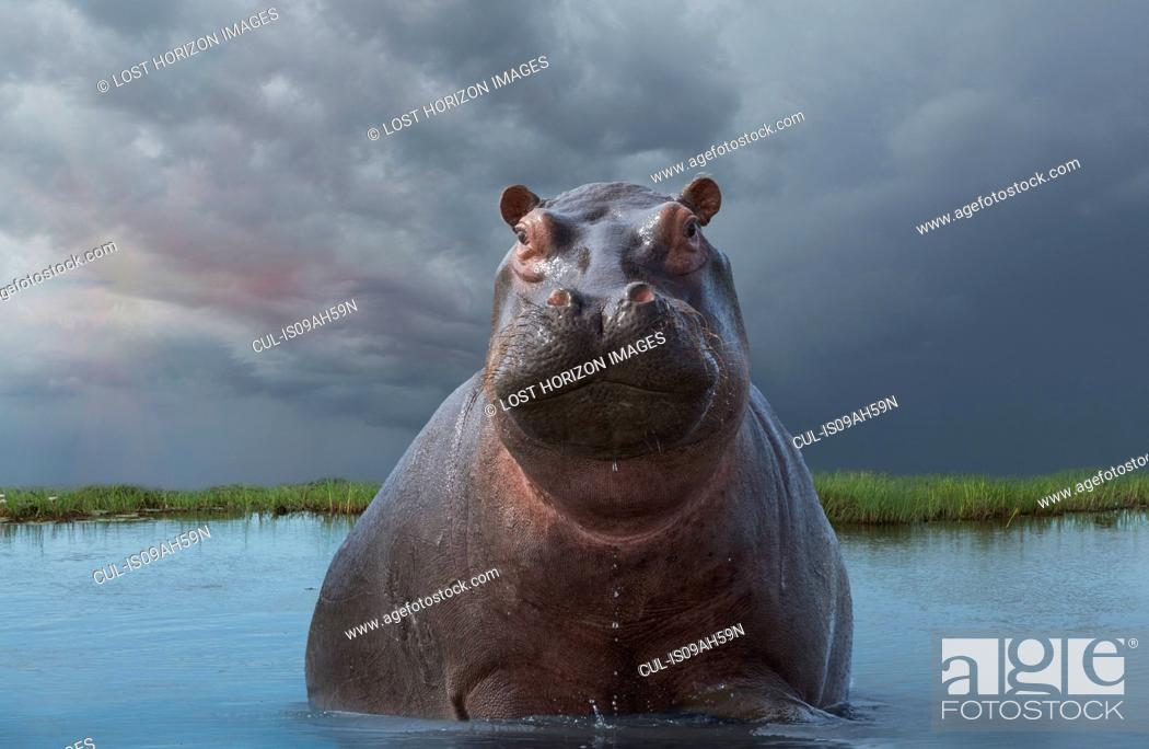 Stock Photo: Hippo (Hippopotamus amphibius).