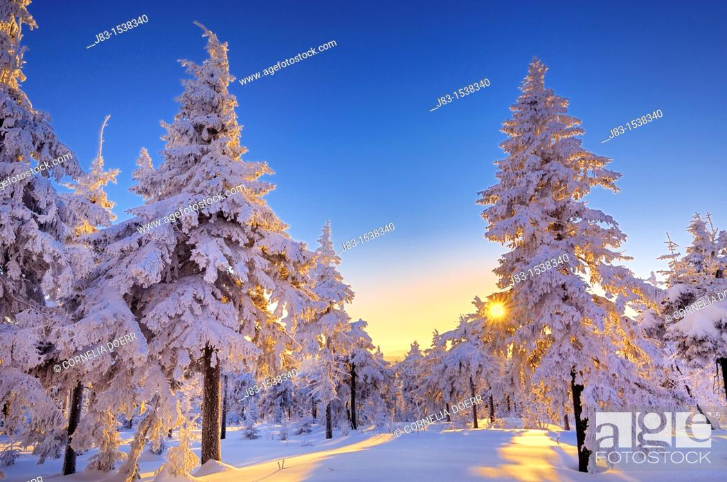 Stock Photo: Sun shining through snow covered spruce forest, Fichtelberg, Oberwiesental, Erzgebirge, Saxony, Germany.