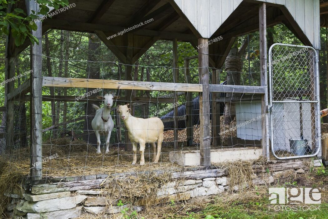 Stock Photo: Domestic tan and white goats being kept in a pen in residential backyard in early summer.