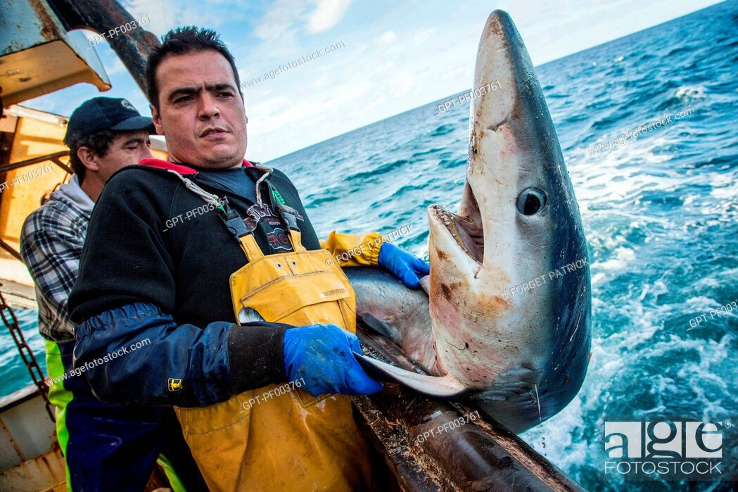 Stock Photo: BLUE SHARK PUT BACK IN THE WATER STILL ALIVE TO PRESERVE THE SPECIES, SEA FISHING ON THE SHRIMP TRAWLER 'QUENTIN-GREGOIRE' OFF THE COAST OF SABLES-D'OLONNE (85).
