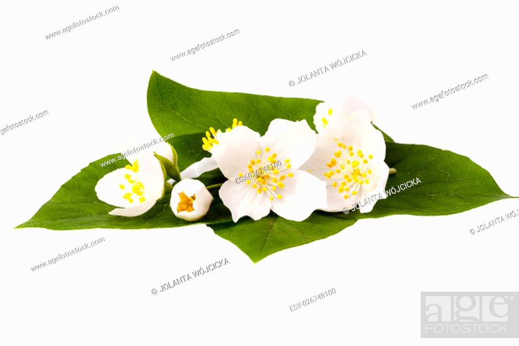 Stock Photo: Jasmine flowers with leaves isolated on white background.
