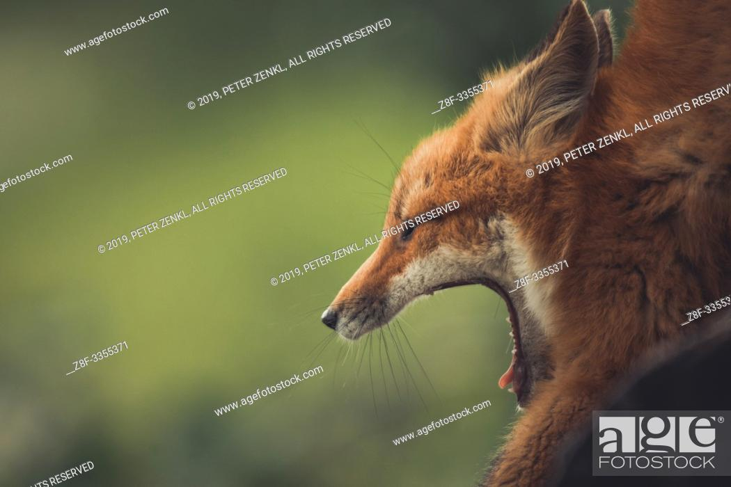 Imagen: A young red fox (Vulpus vulpus) opens his mouth wide as he yawns. Yukon Territory, Canada.