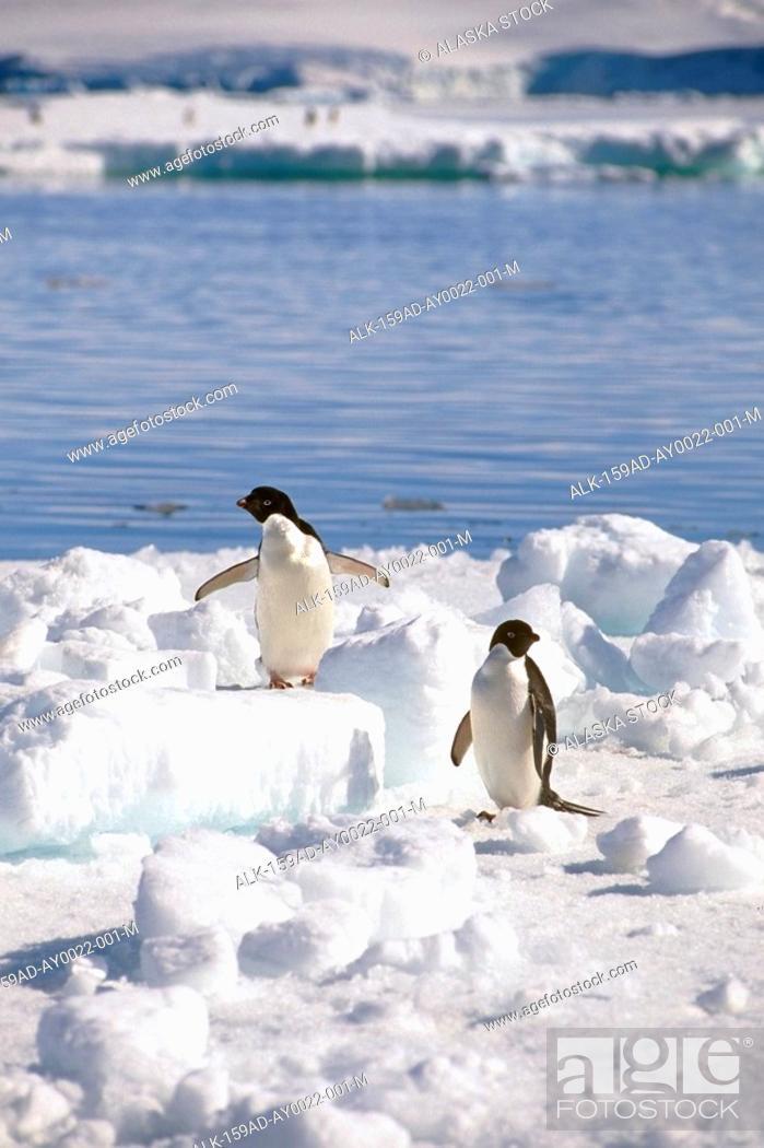 Stock Photo: Adelie Penguins Standing on Iceberg Antarctica.