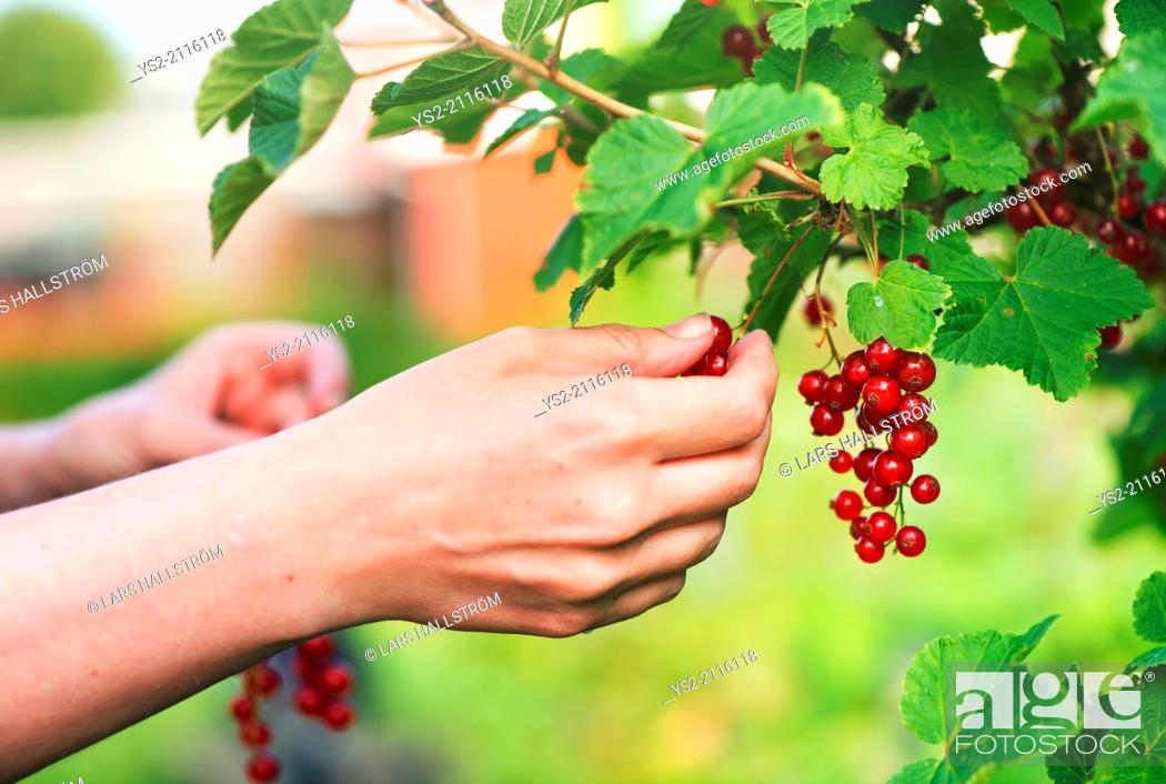 Stock Photo: Hand and redcurrants on bush. Woman picking berrier in garden.