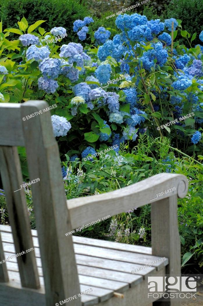 Stock Photo: Hydrangeas and garden bench.
