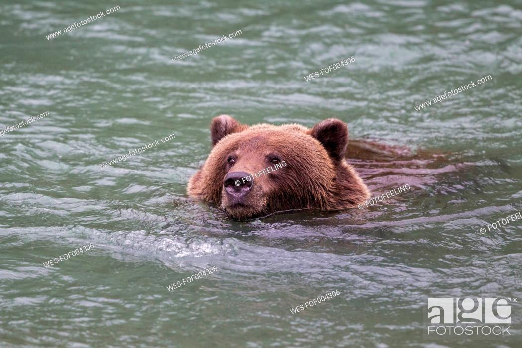 Stock Photo: USA, Alasaka, Brown bear in Chilkoot Lake.