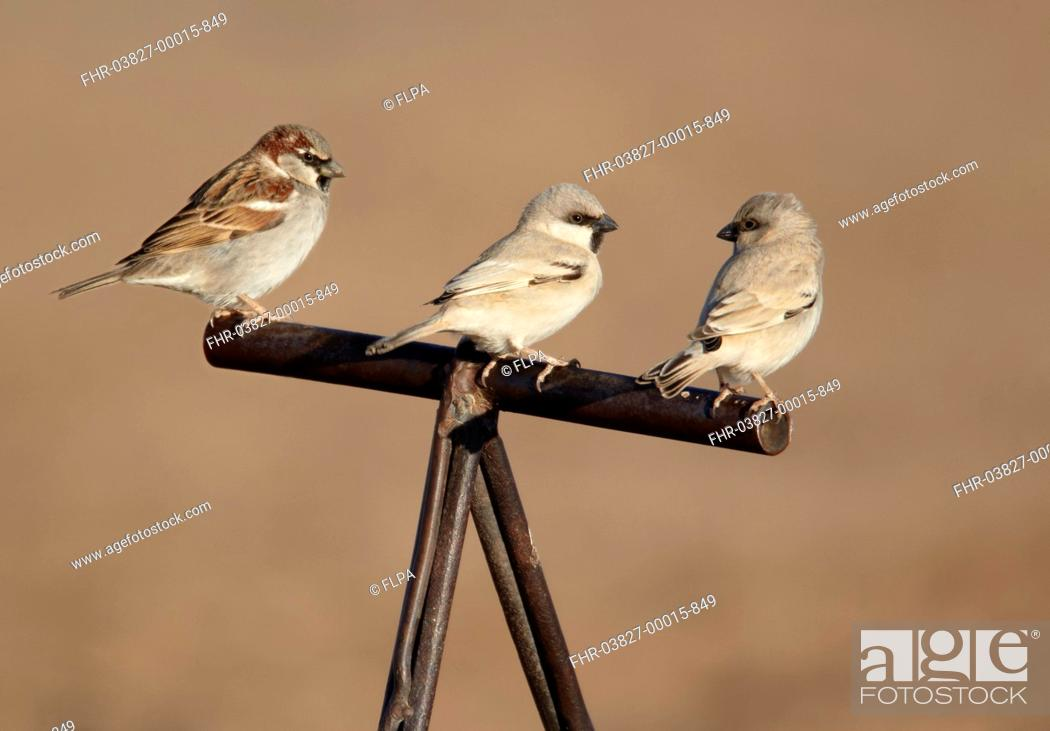 Stock Photo: Desert Sparrow Passer simplex and House Sparrow Passer domesticus adult males, perched on handle of camel saddle, Erg Chebbi, Morocco, february.